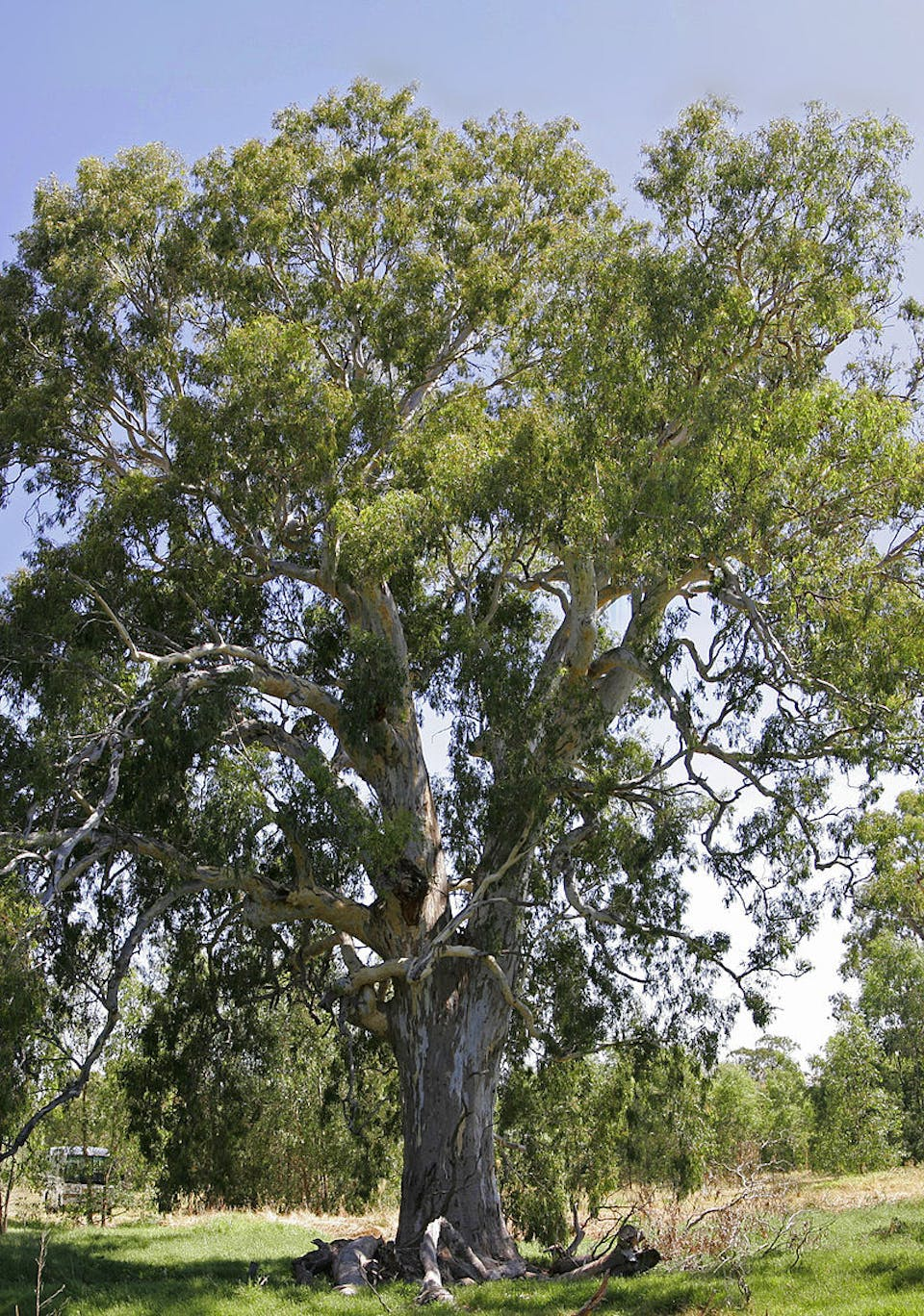 800px-700_yr_red_river_gum02